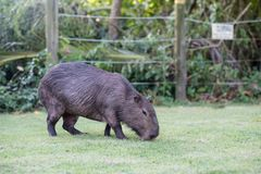 Capybara grazing on grass inside private property. The cabycara is a calm and gentle mammal, very common in Rio de Janeiro.  stock photo