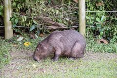 Capybara grazing on grass inside private property. The cabycara is a calm and gentle mammal, very common in Rio de Janeiro.. Capybara grazing on grass inside stock photo