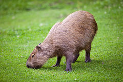 Capybara  grazing on green grass Stock Images