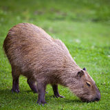 Capybara  grazing on green grass Royalty Free Stock Photo