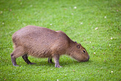 Capybara  grazing on green grass Royalty Free Stock Photos