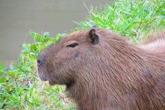 Capybara on green grass Stock Photography