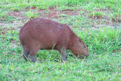 Capybara on green grass Royalty Free Stock Image