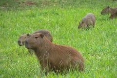Capybara on green grass Royalty Free Stock Photos