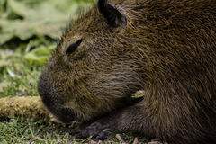 Capybara has a corn cob for lunch. A side shot of the local Capybara laying out in the sun having a snack Royalty Free Stock Photos