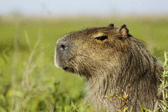 Capybara head while resting Royalty Free Stock Images