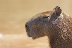 Capybara head and shoulders Royalty Free Stock Images