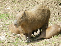 Capybara. With her offsprings at the zoo Royalty Free Stock Photos