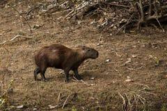 Capybara in het hout Royalty-vrije Stock Foto's