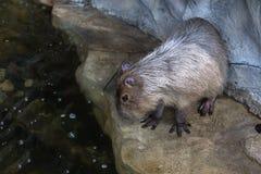Capybara het letten op in water Stock Foto's