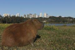 Capybara het rusten royalty-vrije stock fotografie