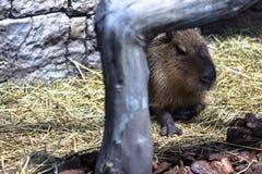 Capybara hiding behind a tree. With selective focus on eyes Royalty Free Stock Photos