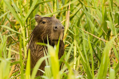 Capybara Hiding in the Tall Grass Stock Photos