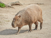 Capybara (hydrochaeris de Hydrochoerus) Image libre de droits