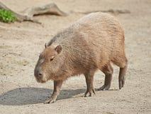 Capybara (hydrochaeris del Hydrochoerus) Imagen de archivo libre de regalías