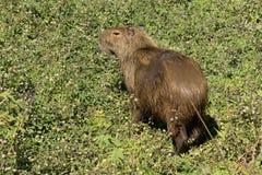 Capybara Hydrochaeris del Hydrochoerus Foto de archivo libre de regalías