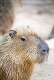 Capybara (hydrochaeris del Hydrochoerus) Fotografie Stock Libere da Diritti
