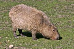 Capybara, hydrochaeris del Hydrochoerus, pasto imagen de archivo libre de regalías