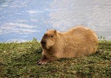 Capybara (hydrochaeris di Hydrochaeris) Fotografia Stock Libera da Diritti
