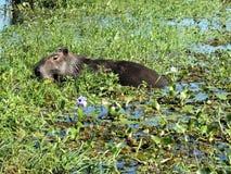 Capybara (hydrochaeris do Hydrochoerus) Fotos de Stock