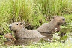 Free Capybara Hydrochaeris Hydrochaeris Royalty Free Stock Photography - 112445677