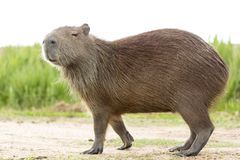 Capybara Hydrochaeris hydrochaeris royalty free stock photo
