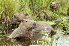 Free Capybara Hydrochaeris Hydrochaeris Family In Water Royalty Free Stock Photo - 112833915