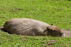 Capybara (Hydrochaeris hydrochaeris). A capybara laying in the grass Royalty Free Stock Photos