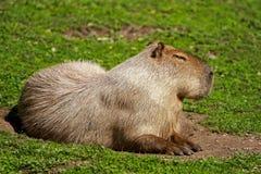 Capybara (Hydrochaeris hydrochaeris). A capybara laying in the grass Royalty Free Stock Image