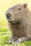 Capybara Hydrochaeris hydrochaeris Stock Image