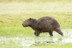 Capybara Hydrochaeris hydrochaeris Royalty Free Stock Image