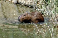 Capybara (Hydrochoerus hydrochaeris). A capybara wades in the lake stock images