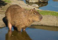 Capybara, Hydrochoerus hydrochaeris Stockfotografie