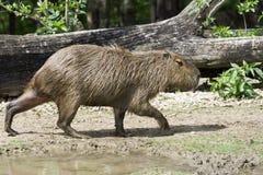 Capybara (Hydrochoerus hydrochaeris) Royalty Free Stock Image