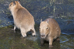 Capybara (Hydrochoerus hydrochaeris) Royalty Free Stock Photo