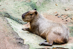 The capybara Royalty Free Stock Image