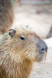 Capybara (Hydrochoerus hydrochaeris) Royalty Free Stock Photos