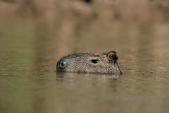 Capybara, Hydrochoerus hydrochaeris Royalty Free Stock Photos