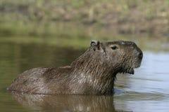 Capybara, Hydrochoerus hydrochaeris Royalty Free Stock Image