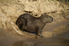 Capybara, Hydrochoerus hydrochaeris Stock Photo