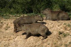 Capybara, Hydrochoerus hydrochaeris Stock Images