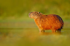 Capybara, Hydrochoerus hydrochaeris, Biggest mouse in the water with evening light during sunset, Pantanal, Brazil Stock Image