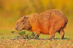 Capybara, Hydrochoerus hydrochaeris, Biggest mouse in water with evening light during sunset, Pantanal, Brazil. Wildlife scene fro. M Brazil Royalty Free Stock Photo