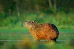 Capybara, Hydrochoerus hydrochaeris, Biggest mouse in water with evening light during sunset, Pantanal, Brazil. Wildlife scene fro. M Brazil Stock Image