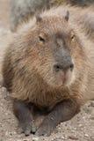 Capybara Hydrochoerus hydrochaeris. Wildlife animal Stock Photos