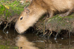 Capybara (Hydrochoerus hydrochaeris) drinking Royalty Free Stock Photography