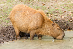 Capybara (Hydrochoerus hydrochaeris) drinking from a dirty pool Royalty Free Stock Photo