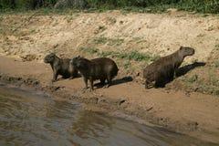 Capybara, Hydrochoerus hydrochaeris Stock Photos