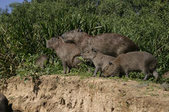 Capybara, Hydrochoerus hydrochaeris Stock Photography