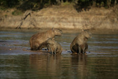 Capybara, Hydrochoerus hydrochaeris. Family group, Brazil Stock Images
